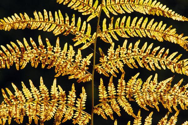 Bracken Pteridium aquilinum close-up of fronds in autumn