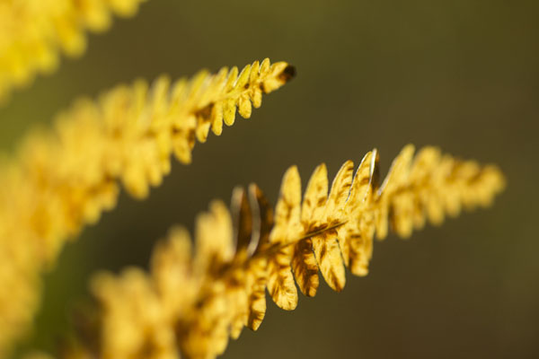 Bracken frond (Pteridium aquilinum) showing autumn colour